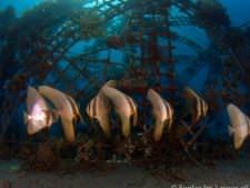 batfish under Bio-Rock structure_4760