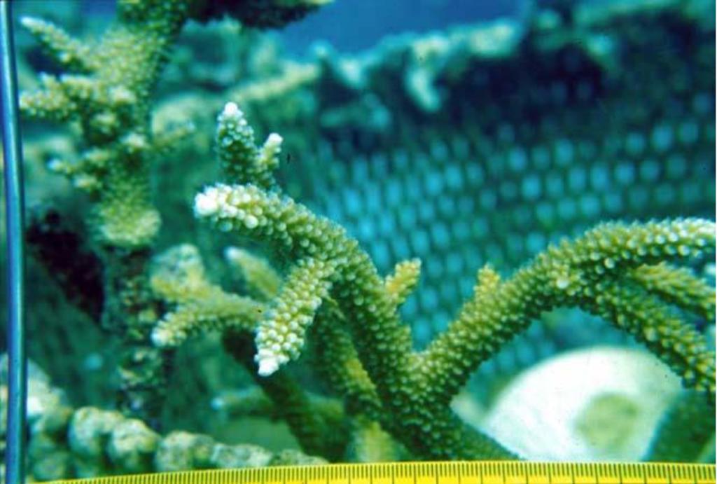Westender, Jamaica, Biorock, coral, restoration, reef, Goreau