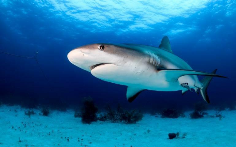 Biorock electrical fields inhibit shark biting