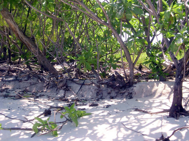 Pisonia trees on top of the island are being eroded at high tide. (Caspar Henderson)