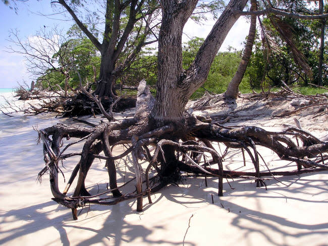 Casuarina equisetifolia tree roots with sand washed away by wave erosion. (Caspar Henderson)
