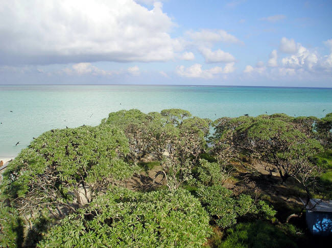 The Pisonia trees are densely packed with nesting terns. (Caspar Henderson)